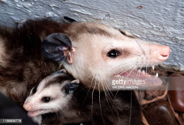 An opossum is seen protecting her baby after being discovered on a patio in the heart of Los Angeles on August 4, 2019.