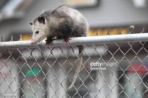An opossum sits stuck on top of a fence on Broadway in Lawrence, MA on Oct. 3, 2018. Lawrence Animal Control officer Ellen Bistany came to the...