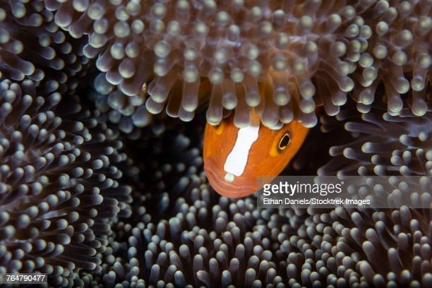 An orange anemonefish peeks out from its host anemone on a reef, Indonesia.
