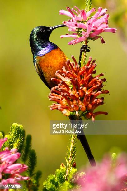 An orange breasted sunbird, Anthobaphes violacea feeding on an erica verticillata flower in Kirstenbosch National Botanical Gardens in Cape Town, Western Cape Province, South Africa. This bird is found only in the Cape Town region and nowhere else.
