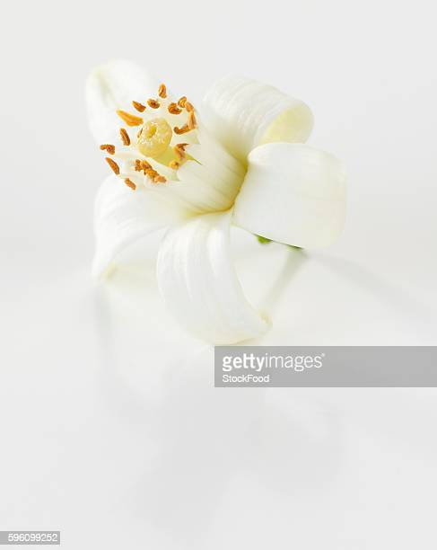 an orange flower - orange blossom stock photos and pictures