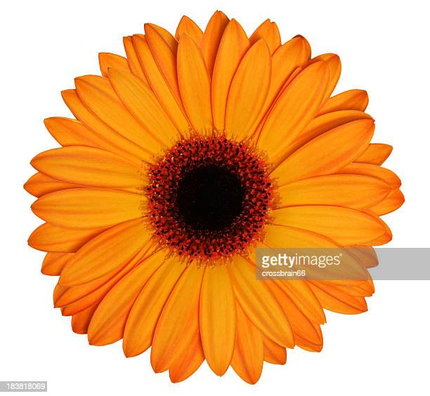An orange gerbera on a white background