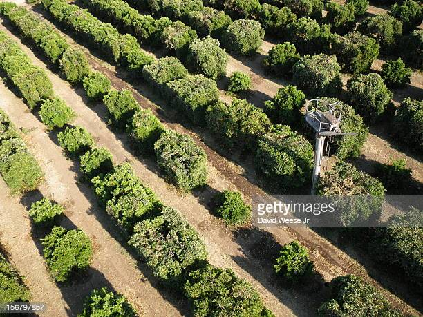 An orange grove in Redlands California soon after mechanized pruning A tractor fitted with large circular saws mounted both vertically and...