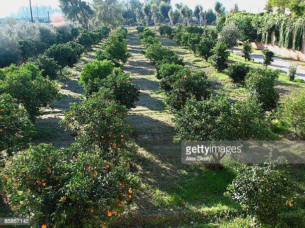 an orange grove  - orange orchard stock photos and pictures