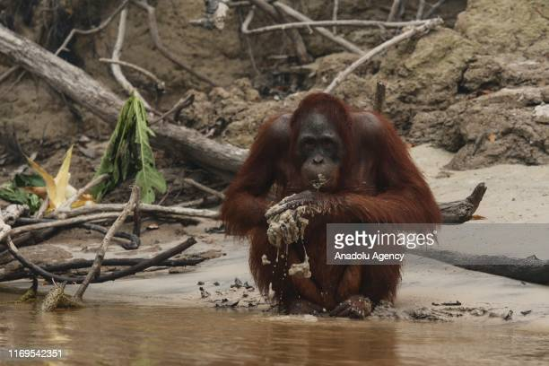 An orangutan grabs a handful of mud during a haze from forest fires near Kaja Island in Palangkaraya Central Kalimantan Indonesia on September 19 2019