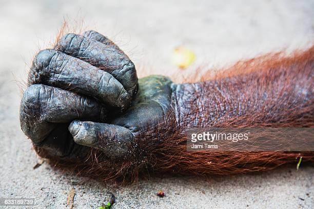 an orangutan hand, close-up - animal finger stock photos and pictures