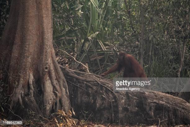 An orangutan is headed towards a tree during a haze from forest fires near Kaja Island, in Palangkaraya, Central Kalimantan, Indonesia on September...