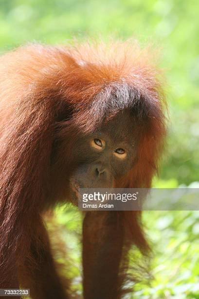 An Orangutan is seen at Ragunan Zoo's 'Schmutzer Primate Center' on February 15 2007 in Jakarta Indonesia A new report from the UN Environment...