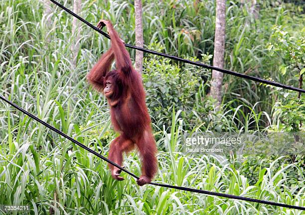 An Orangutan is seen climbing above a stream at Ragunan Zoos 'Schmutzer Primate Center' on February 13 2007 in Jakarta Indonesia A new report from...