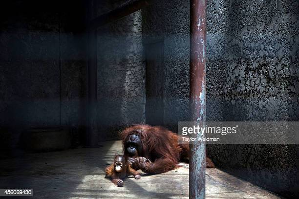 An orangutan mother and her baby lay on the concrete floor of their enclosure at the Pata Zoo on September 25, 2014 in Bangkok, Thailand. Located on...
