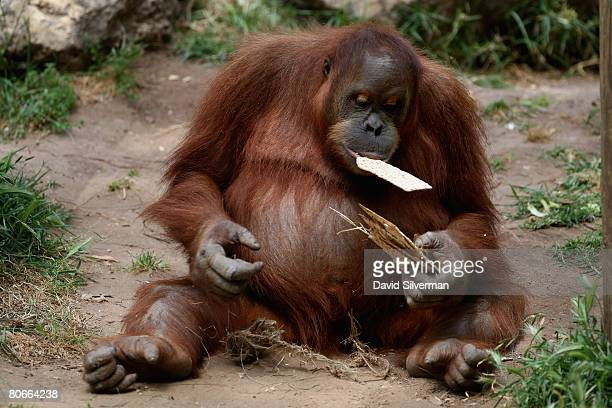 An orangutan munches on Matza the unleavened crackerlike bread that religious Jews eat during the upcoming festival of Pesach as the Safari Park...