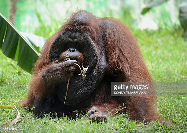 An orangutan named 'Jacky' who originated in Borneo is pictured during celebrations marking his 38th birthday at Bali Zoo in Gianyar on the...