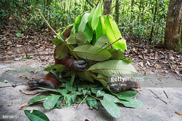 An orangutan playing with a pile of leaves