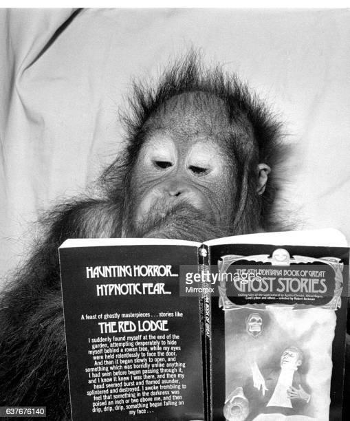 An Orangutan reading ghost stories 20th November 1980