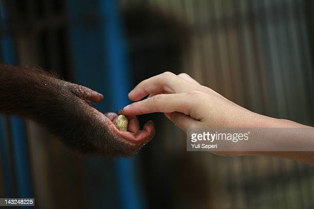 An orangutan receives a nut from a visitor at Kijang Zoo on April 22 2012 in Bintan Island Indonesia Indonesia Environmental institutions have called...