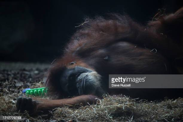 An orang-utan relaxes as the Toronto Zoo which is still closed to prevent the spread of COVID-19 during the pandemic in Toronto. May 2, 2020.