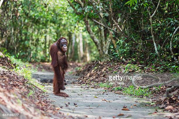 an orangutan standing up straight in the forest - orangutan stock pictures, royalty-free photos & images