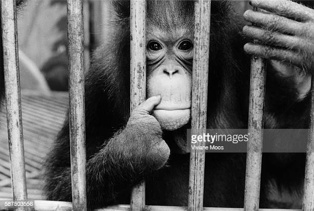 An orangutan with missing fingers peers out from behind bars There are only 15000 wild orangutans left in the forest