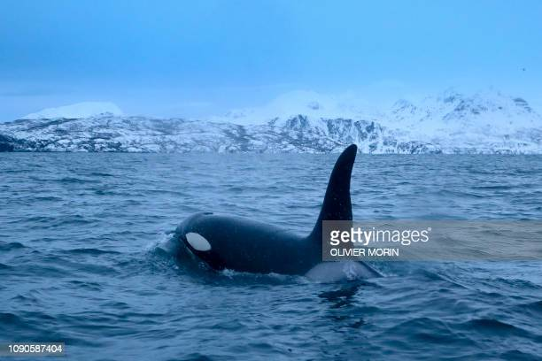 TOPSHOT An orca chases herrings on January 14 in the Reisafjorden fjord region near the Norwegian northern city of Tromso in the Arctic Circle