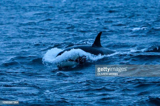 An orca chases herrings on January 17 in the Reisafjorden fjord region, near the Norwegian northern city of Tromso in the Arctic Circle.