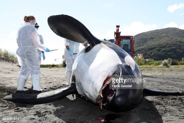 An Orca is examined after it washed up at Whatipu Beach on March 14 2017 in Auckland New Zealand A team from the Coastal Marine Research Group at...