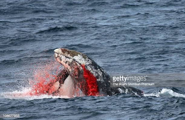 An orca is seen attacking a gray whale on August 6 2007 in Alaska
