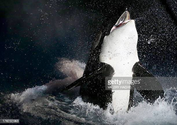 An orca performs on August 11 2013 at the Marineland animal exhibition park in the French Riviera city of Antibes southeastern France AFP PHOTO /...