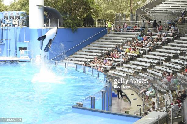 An orca trainer wears a protective mask as an orca jumps out of the water during a show at the SeaWorld amusement park in Orlando, Florida, U.S., on...