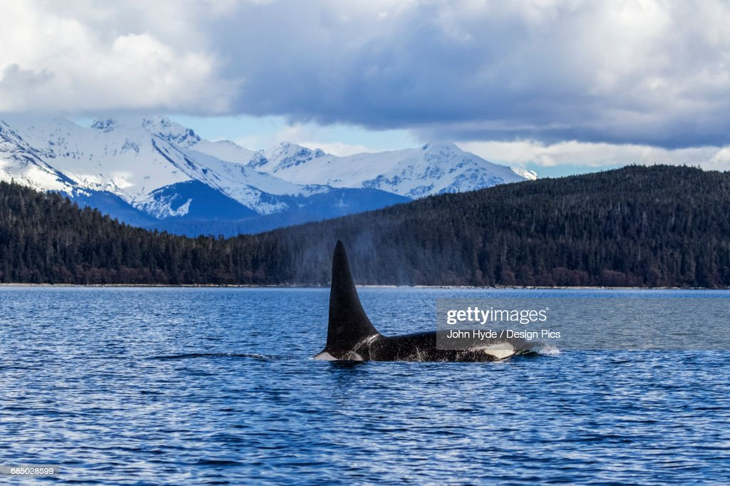 An Orca Whale, or Killer Whale, (Orcinus orca) surface near Juneau in Lynn Canal, Inside Passage : Stock Photo