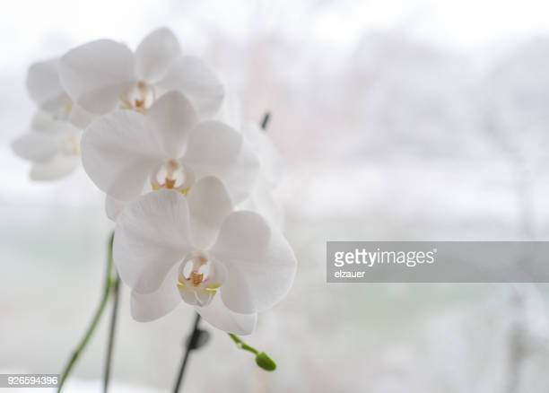 an orchid in the winter - orchid flower stock pictures, royalty-free photos & images