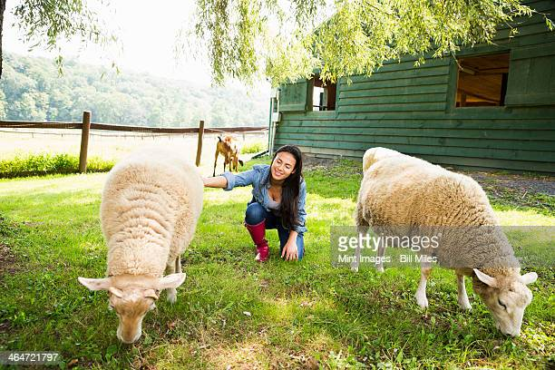an organic farm in the catskills. a woman with two large sheep grazing in a paddock. - ソーガーチーズ ストックフォトと画像