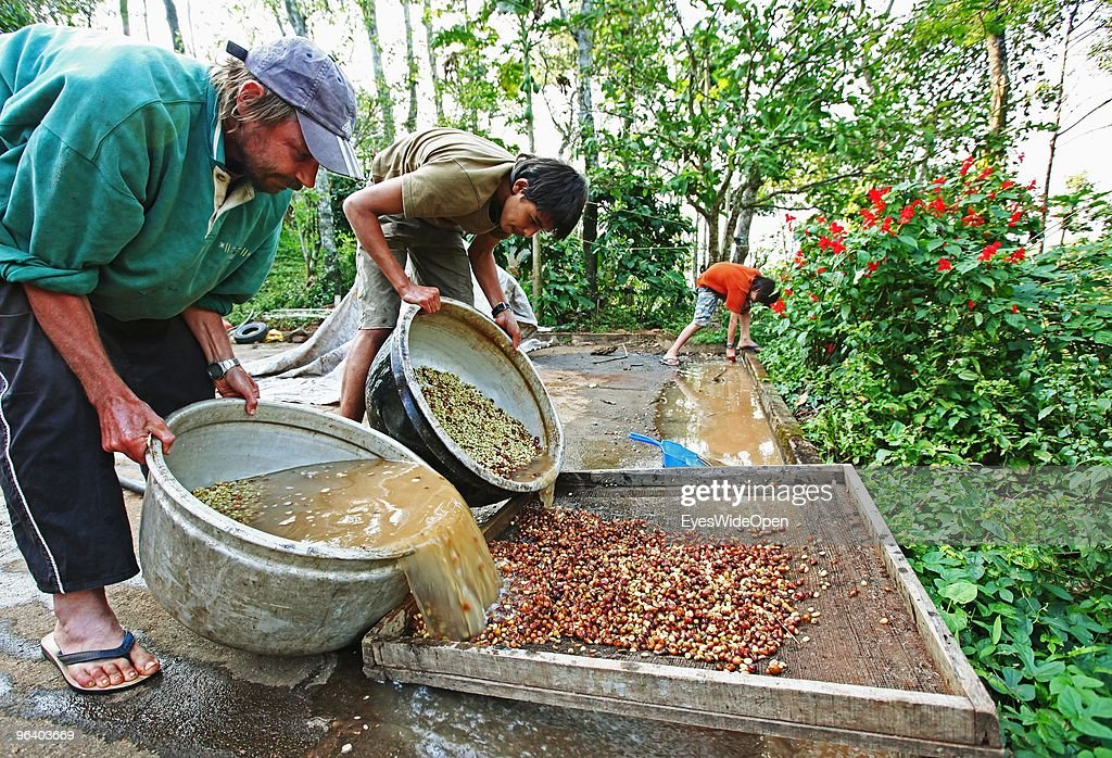 An organic farmer is washing and selecting fresh peeled coffee beans by handwork in Kumily on January 04, 2010 in Kumily near Trivandrum, Kerala, South India.
