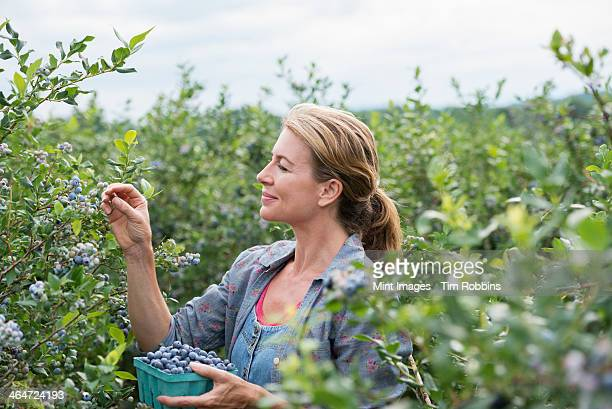 An organic fruit farm. A woman picking the berry fruits from the bushes.
