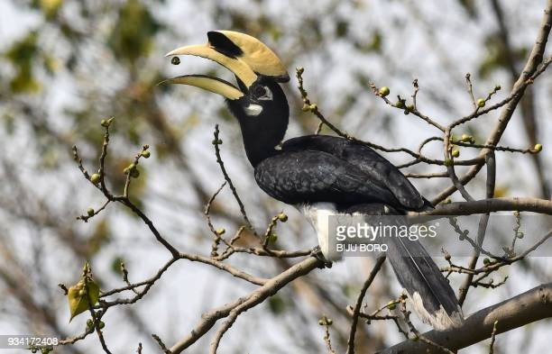 An oriental pied hornbill bird eats a seed as it sits on the branch of a tree in Pobitora village on the outskirts of Guwahati in India's northeast...