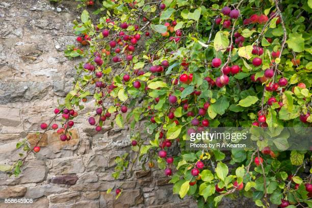 an ornamental apple tree in early september - crab apple tree stock pictures, royalty-free photos & images