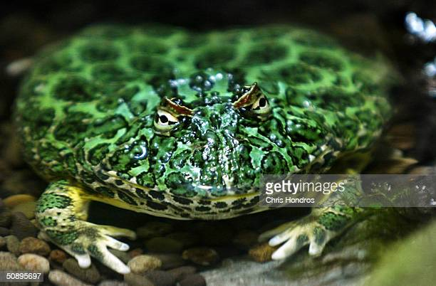 An Ornate Horned Frog appears at a sneak preview of Frogs A Chorus of Colors at the American Museum of National History May 25 2004 in New York City...