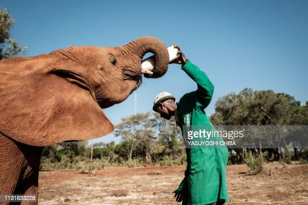 An orphan elephant is fed with milk by a keeper at the David Sheldrick Wildlife Trust elephant orphanage in Nairobi, Kenya on March 12, 2019. - Each...
