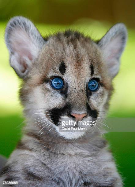 An orphaned 11 month old cougar cub plays at Six Flags Discovery Kingdom on April 26 2007 in Vallejo California Three cougar cubs were given to the...