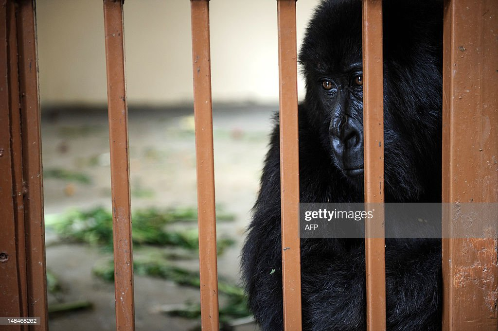 An orphaned mountain gorilla sits in a c : News Photo