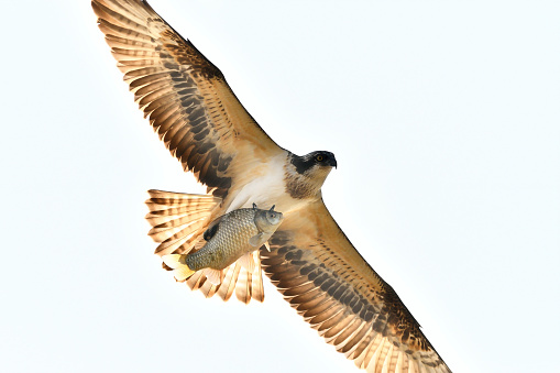 An Ospery Hunting Fish - gettyimageskorea