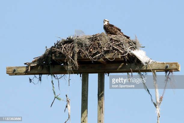 An osprey and it's nest sits atop a power pole during the third round of the Valspar Championship on March 23 at Westin Innisbrook-Copperhead Course...