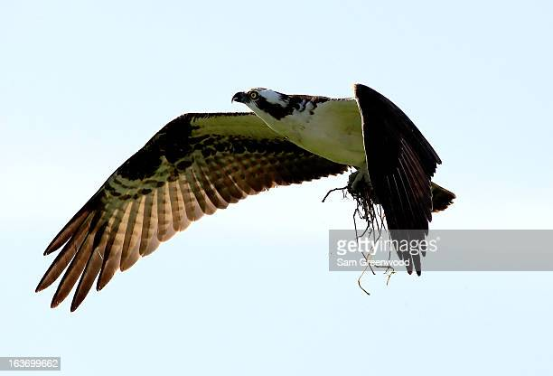 An osprey as seen during the first round of the Tampa Bay Championship at the Innisbrook Resort and Golf Club on March 14 2013 in Palm Harbor Florida