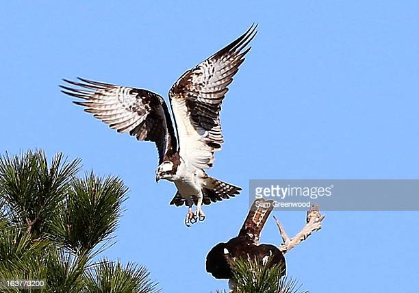 An osprey as seen during the second round of the Tampa Bay Championship at the Innisbrook Resort and Golf Club on March 15 2013 in Palm Harbor Florida
