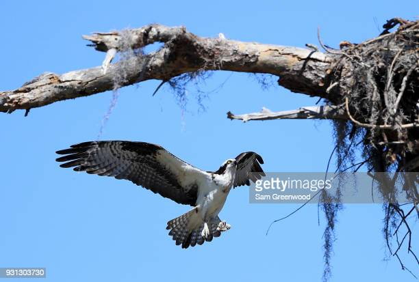 An osprey as seen during the second round of the Valspar Championship at Innisbrook Resort Copperhead Course March 9 2018 in Palm Harbor Florida