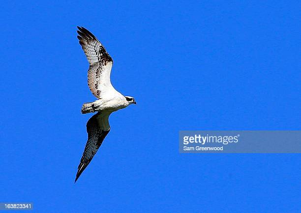 An osprey as seen during the third round of the Tampa Bay Championship at the Innisbrook Resort and Golf Club on March 16 2013 in Palm Harbor Florida