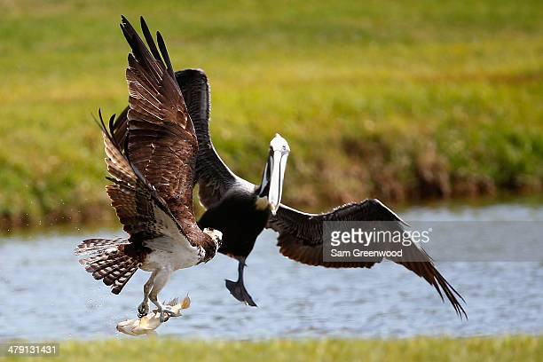 An osprey carrying a fish encounters a pelican on the Copperhead course during the final round of the Valspar Championship at Innisbrook Resort and...