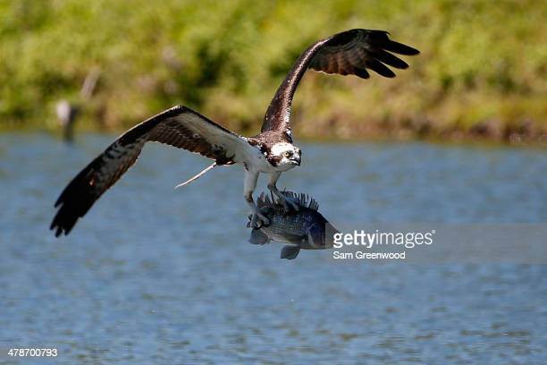 An osprey catches a fish on the Copperhead course during the second round of the Valspar Championship at Innisbrook Resort and Golf Club on March 14,...