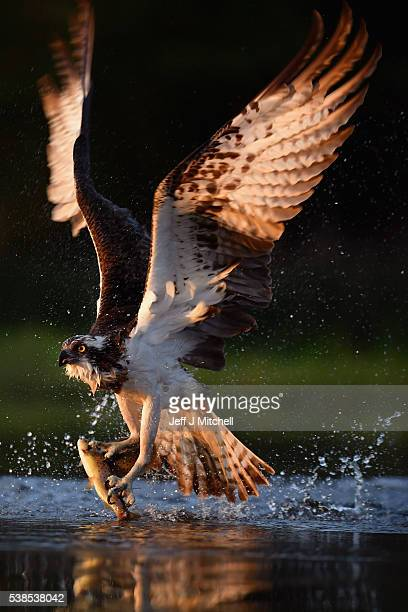 An Osprey catches two Rainbow Trout at Rothiemurchus on June 6 2016 in Kincraig Scotland Ospreys migrate each spring from Africa and nest in tall...