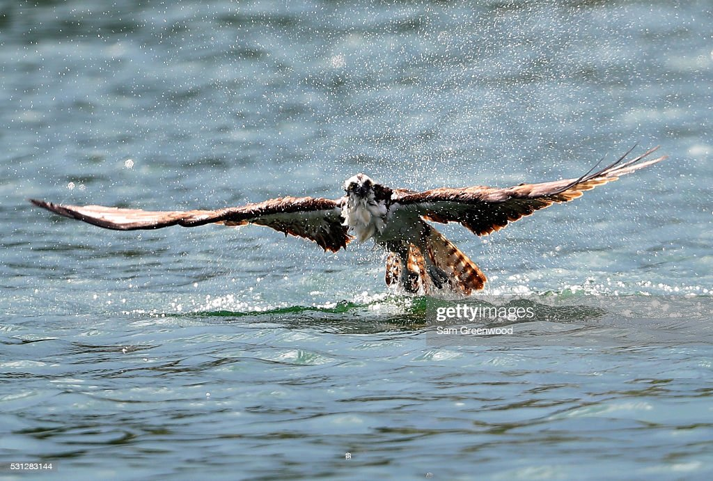 An osprey dives into a pond on the 18th hole during the second round of THE PLAYERS Championship at the Stadium course at TPC Sawgrass on May 13, 2016 in Ponte Vedra Beach, Florida.