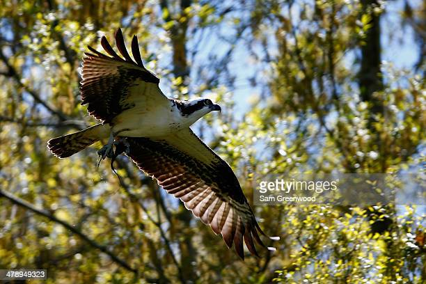 An osprey flies over the Copperhead course during the third round of the Valspar Championship at Innisbrook Resort and Golf Club on March 15, 2014 in...